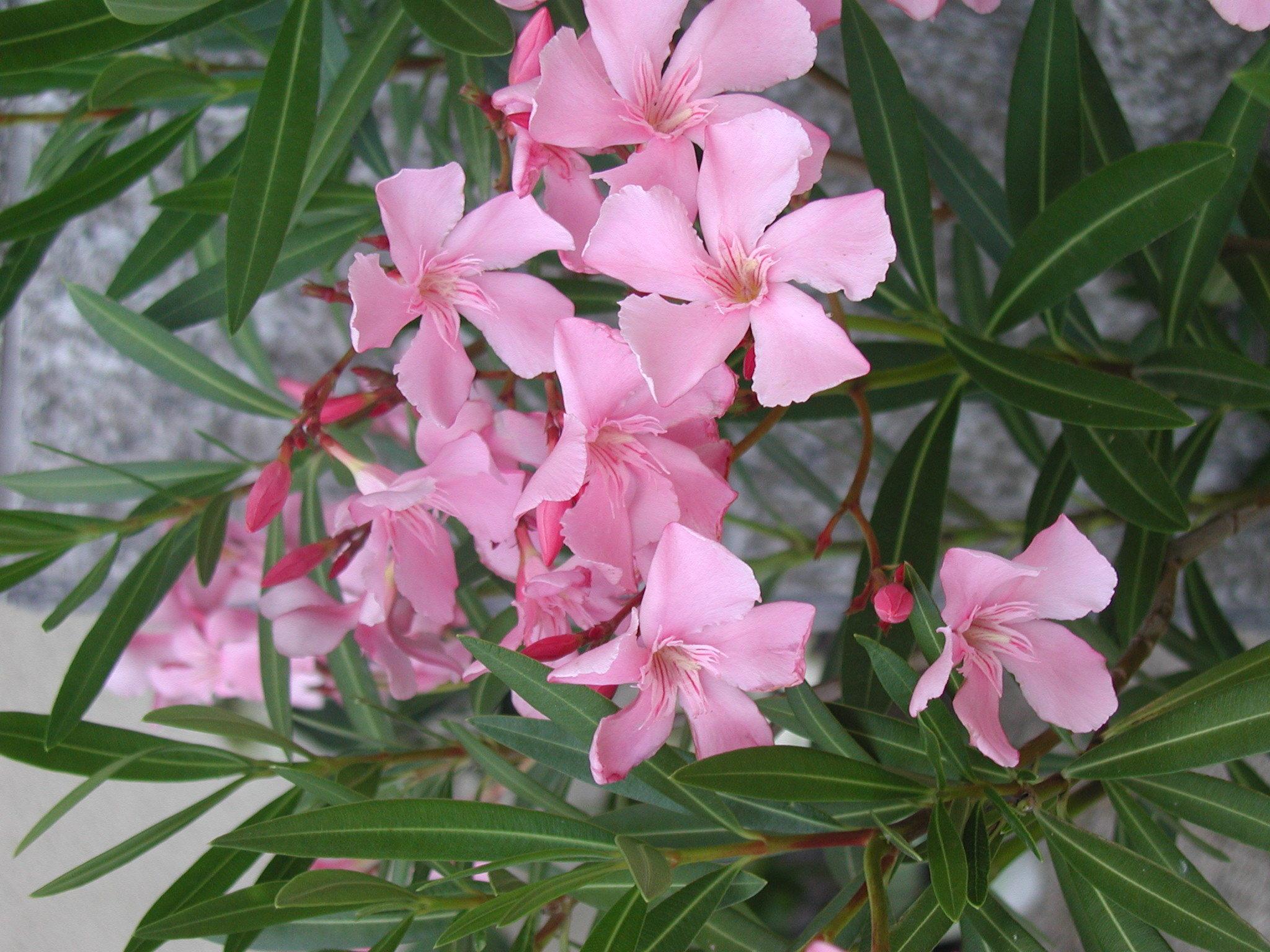 Oleander-Stecklinge Im Sommer Schneiden