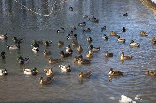 In Nickelsdorf sollen tausende Enten ausgesetzt worden sein.
