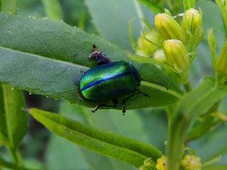 Grün-blauer Blattkäfer