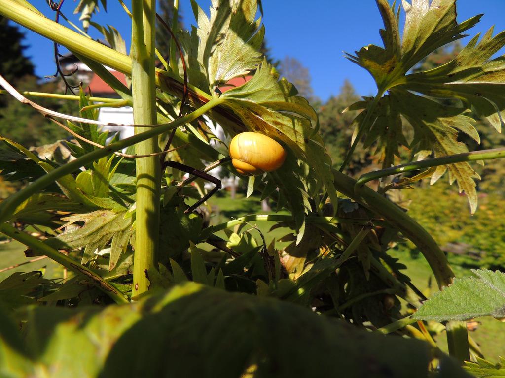Garten Bänderschnecke Cepaea Hortensis Lungau