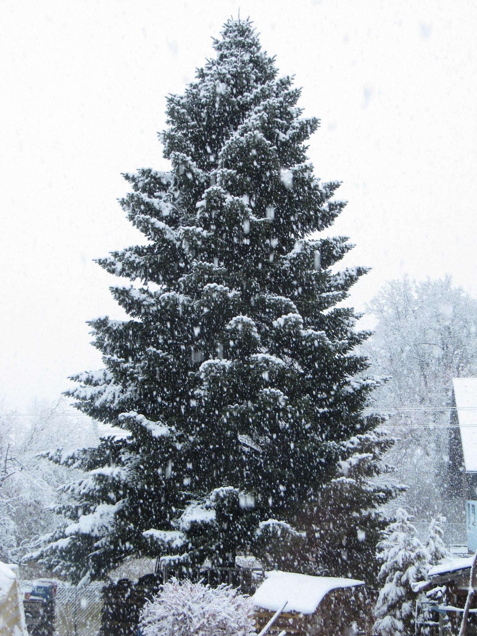 Tannenbaum Mit Schneefall.Tannenbaum Im Schnee Klagenfurt