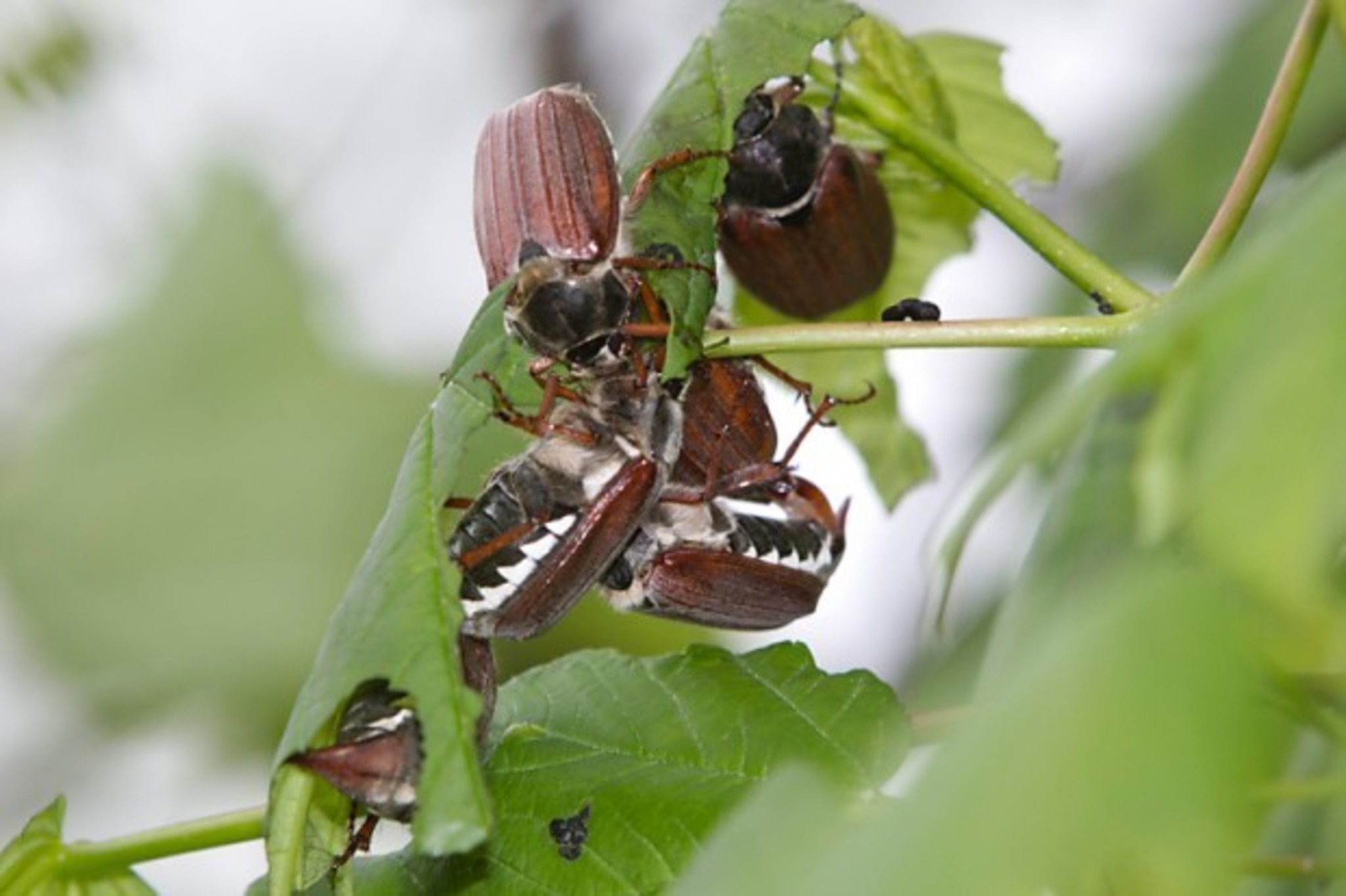 Käferkampf