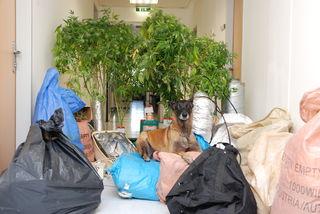 """Polizeihund """"Frankie"""" bewacht die nicht zugestellte Post und die üppigen Cannabis-Pflanzen."""