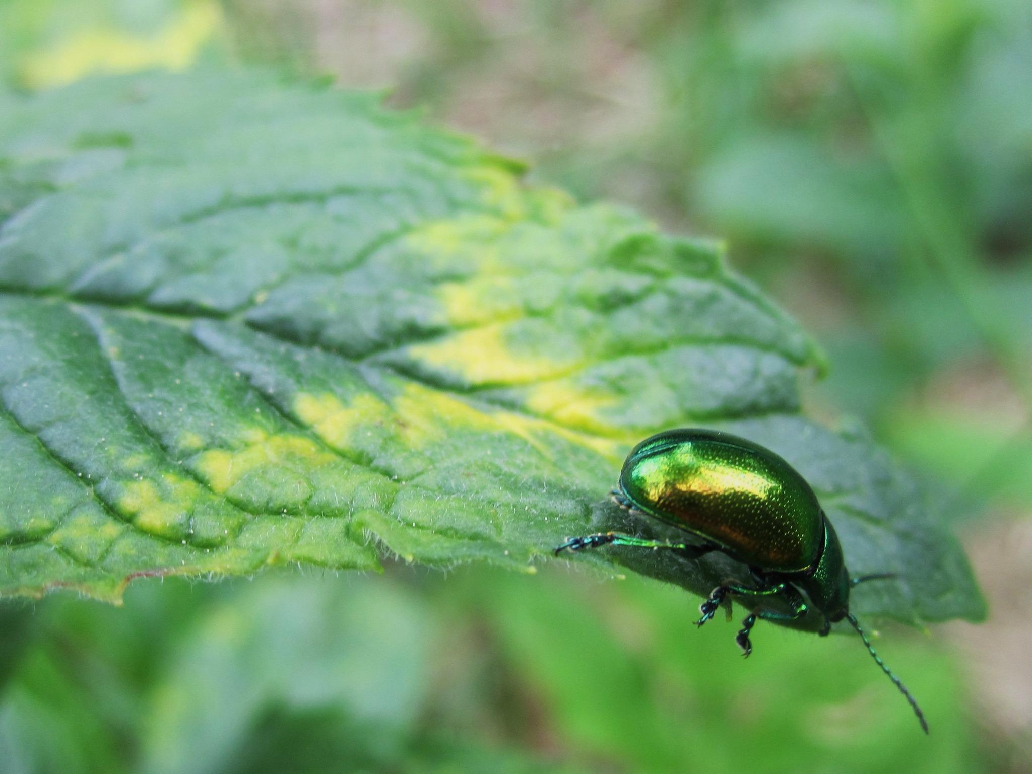 Grün schillerndes Käfer`l auf Entdeckungsreise. - Vöcklabruck