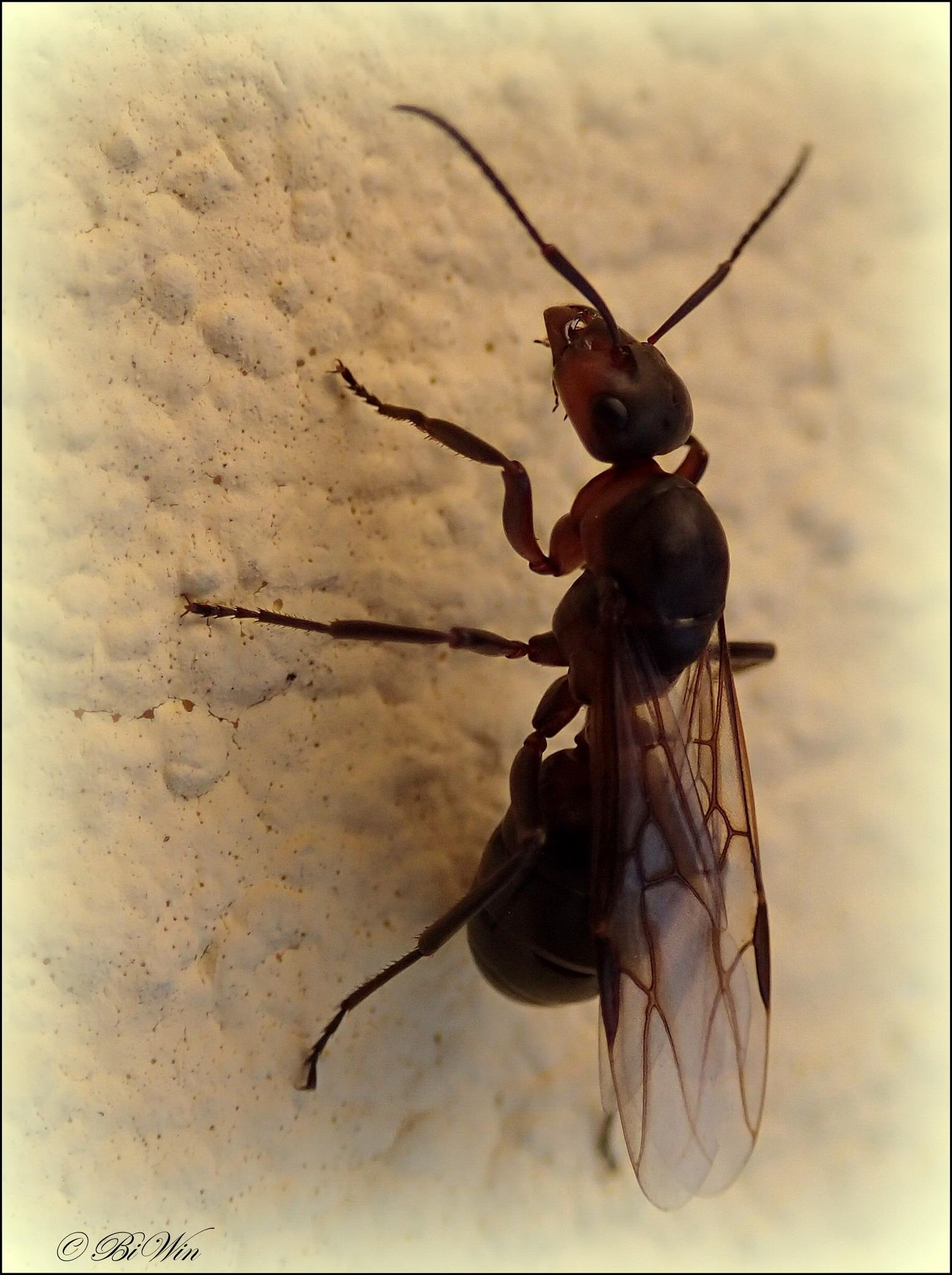Hervorragend Fliegende Ameise auf Hochzeitsreise - Hollabrunn LD06