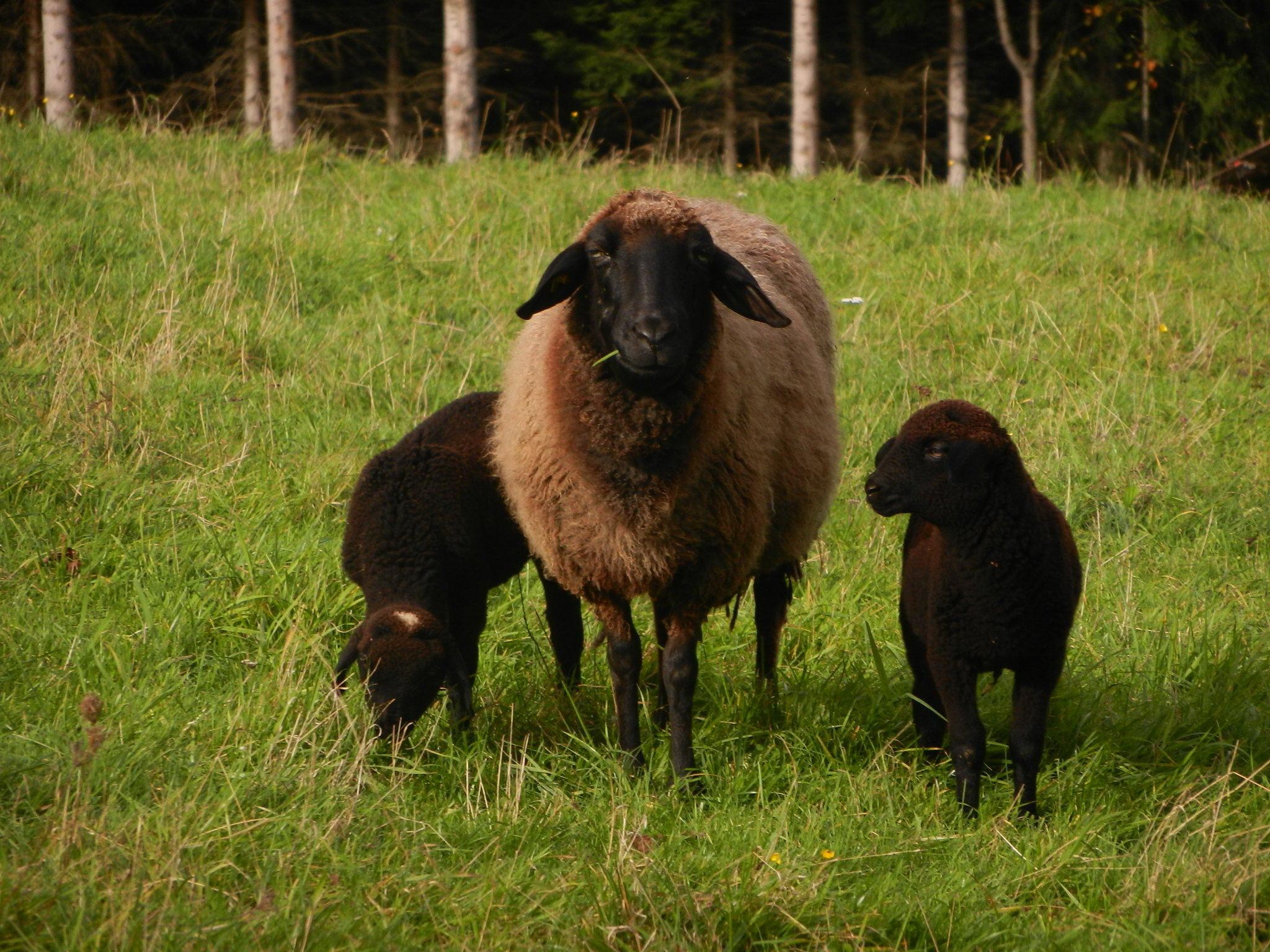 Schwarze Schafe Online