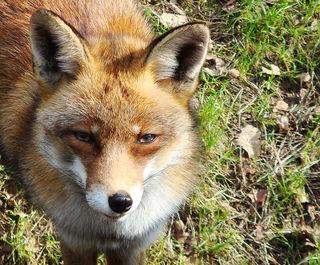 Gesunde Füchse, wie hier im Bild, weisen keine Veränderungen im Fell auf.