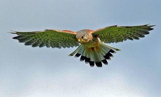 In der Größe unterscheiden sich die Geschlechter der Turmfalken kaum, allerdings ist das Männchen wie bei vielen Vogelarten bunter gefärbt. Das Bild zeigt ein rüttelndes Männchen.