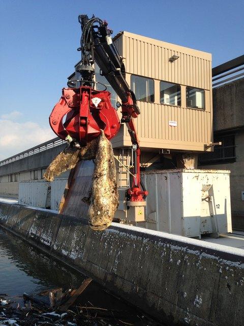 Der Wels, der beim Kraftwerk Abwinden-Asten aus der Donau gefischt wurde.