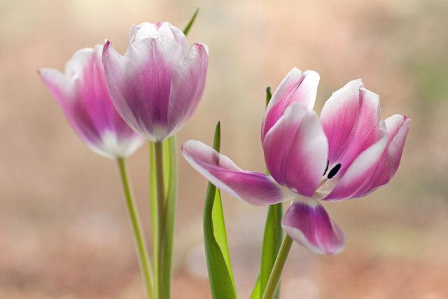 tulpe bauen