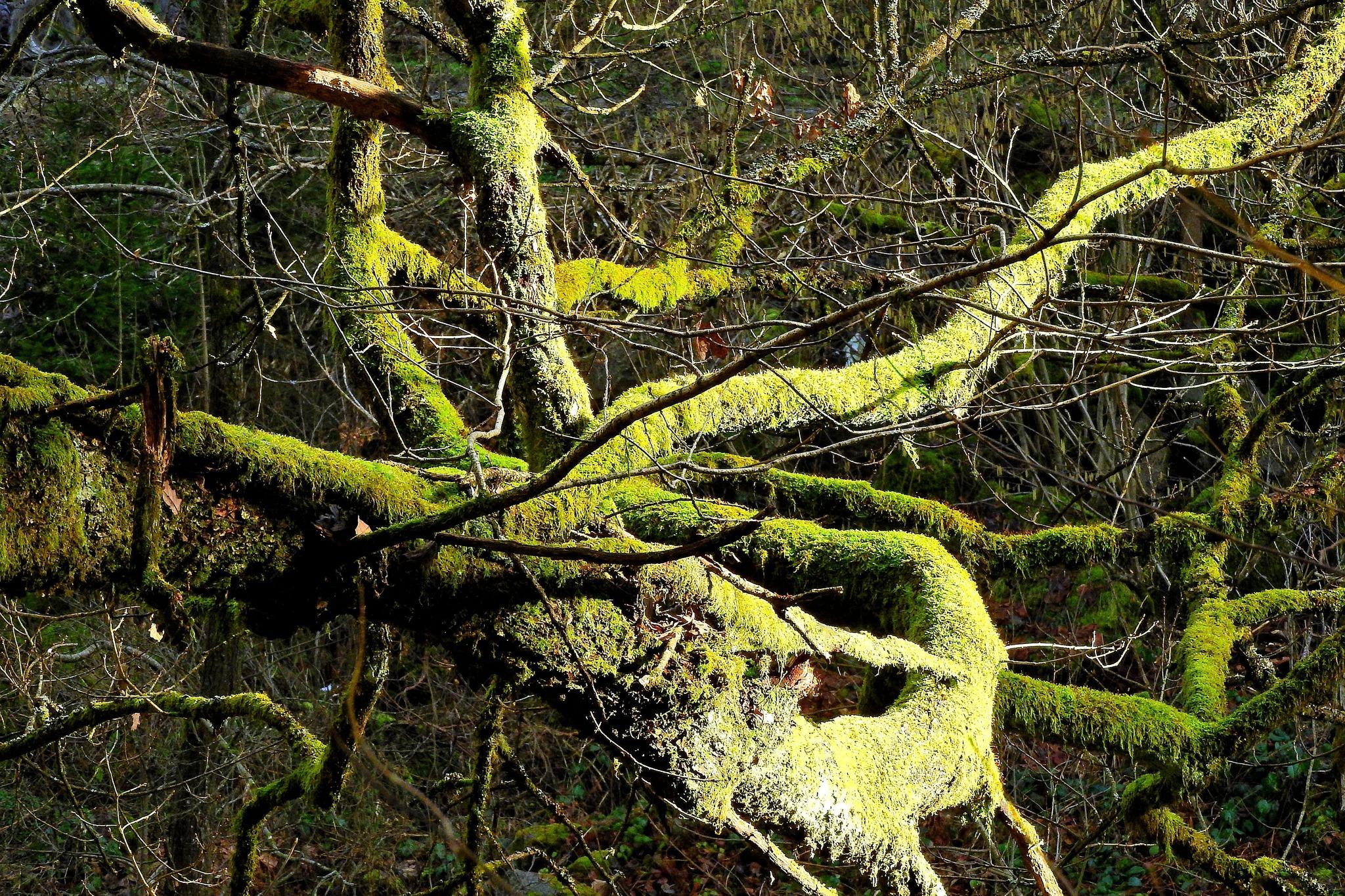 Gordischer Knoten Im Baum ?