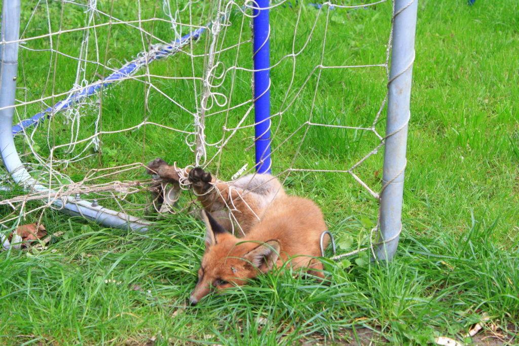 Junger Fuchs Verfing Sich Im Fussballnetz Modling