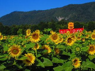 Bessere Zeiten: In einem Sonnenblumenfeld in Villach-Warmbad fand das sommerliche Ackern statt