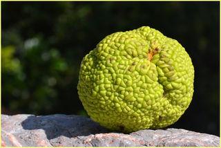 Fruchtdurchmesser 10 cm