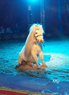 Pony in der Manege vom Circus Berlin
