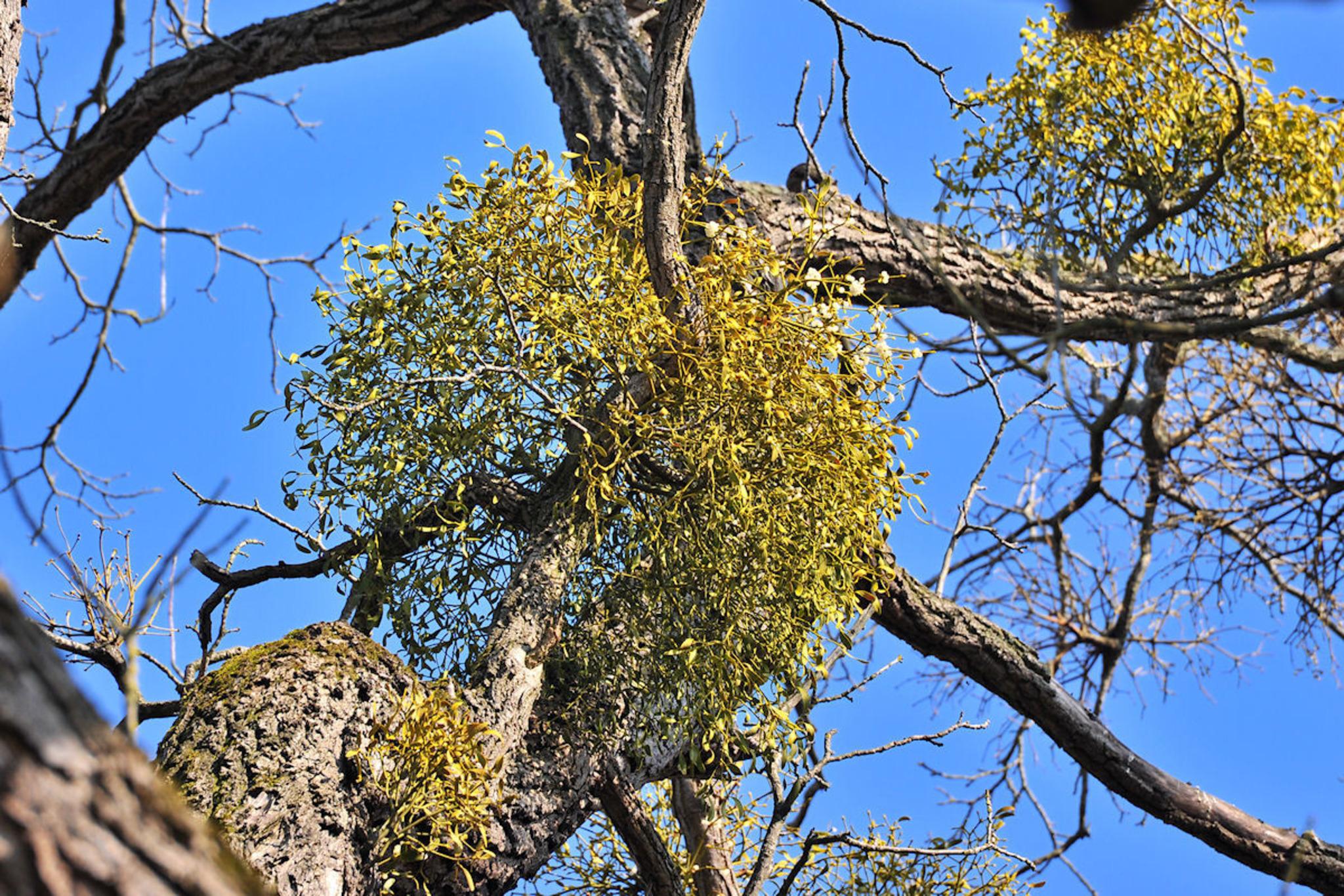 Misteln In Bäumen