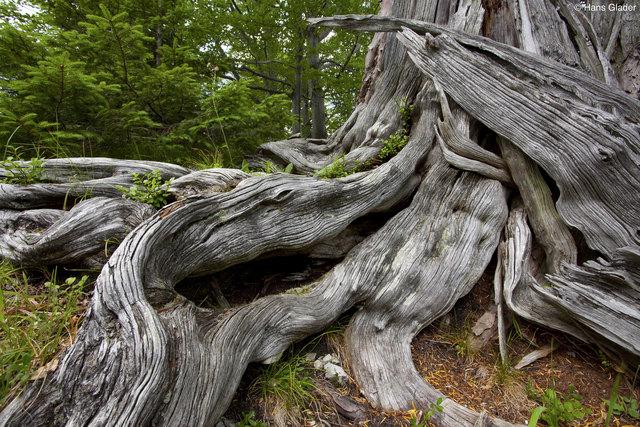 Im Rothwald werden manche Bäume bis zu 600 Jahre alt