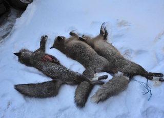 Erlegte Füchse im Wienerwald erhitzten die Gemüter von Tierschützern.