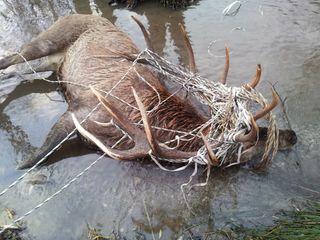 Weidezäune werden leider vor allem allen geweih- und horntragenden Wildarten immer wieder zum Verhängnis.