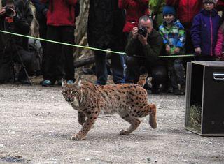 Am 17. März wurden zwei Luchse von der Schweiz in den Nationalpark Kalkalpen übersiedelt.