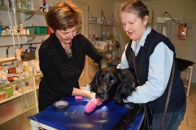 Tierärztin Sonja Gall (links) verbindet die verletzte Pfote der Münsterländerin.