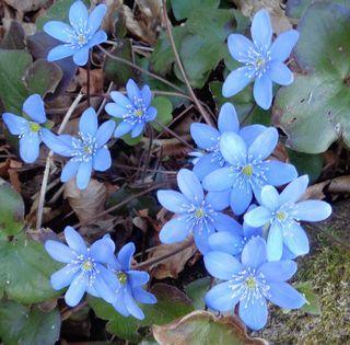 Himmelblaue Frühlings - Bodendecker.
