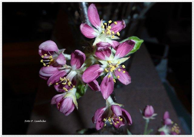 Vom Obstbaumschnitt nahm ich einige Zweige nach Hause. Jetzt sind schon Blüten zu sehen. Leider hat der Fotoblitz die Farbe verändert. Sie sind rosa.