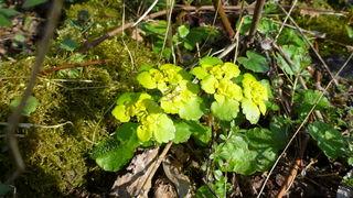 Erst bei genauerer Betrachtung offenbart sich die Schönheit dieser etwas unauffälligen Pflanze!