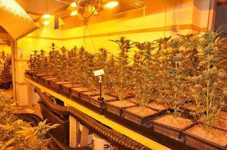 830 Cannabispflanzen wurde in einer 300m2 großen Meidlinger Wohnung sichergestellt.
