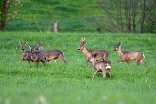 Ein großes Rudel Rehe, ich zählte insgesamt 16 Tiere,  genießt das frische Grün in Untereching (Flachgau).