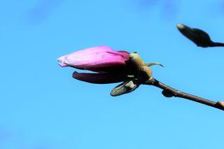 Magnolienknospe im April, Alpengarten, Belvedere, Wien, Ausflugsziel für die ganze Familie