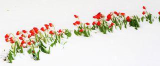 Tulpen im Schnee in Bad Vöslau