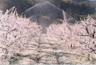 In größeren Kukmirner Obstbaubetrieben wurden in der letzten Frostnacht die Beregnungsanlagen eingeschaltet, um die Baumtriebe mit einer schützenden Eisschicht zu überziehen.