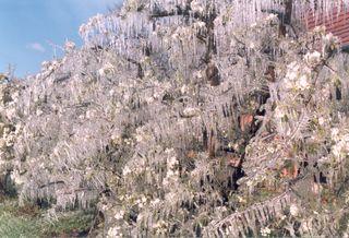 Die Frostberegnung half, Schäden an den Kukmirner Obstbaumkulturen einzudämmen.