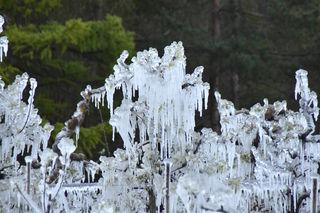 Eis an blühenden Obstbäumen – das führt zu großen Schäden und Ernteausfällen.