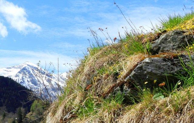 Dort Berge im Schnee, da grüne Almwiesen mit frischen Blumen. Ein schöner Frühling ist es.