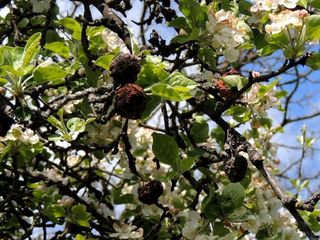 Neue Blüte und alte gschrumpte Äpfel