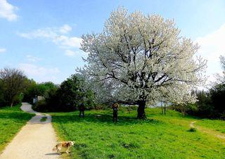Diese Bäume blühen so schön im Frühling, dass ich mich einfach nicht daran satt sehen kann. Mein Hund  (Luna) wartet   immer brav, bis ich mit dem fotografieren fertig bin.