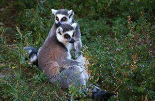 https://www.zoovienna.at/foto-community/gery/ Die Heimat-Wälder der Lemuren auf Madagaskar schrumpfen schnell. In einem Waldgebiet im Westen der Insel versuchen Forscher, die Zerstörung aufzuhalten und die Heimat der bedrohten Halbaffen zu retten ❖