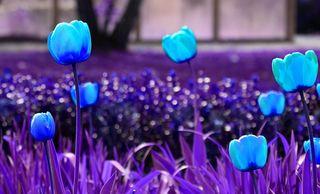 kleine Spielerei aber die natürlichen Farben der Tulpen ist doch schöner :)