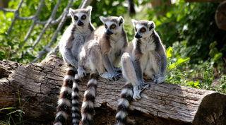 Lemuren  sind vom Aussterben bedroht !   Die  auf Madagaskar lebenden Lemuren sind die am stärksten bedrohte Säugetier-Gruppe. In ihrer Heimat kommen sie durch Wilderei, Abholzung und Bergbau zunehmend unter Druck.