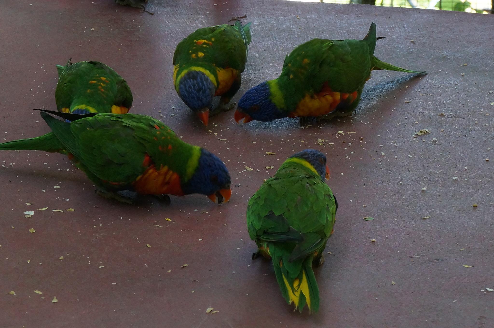 Papageien Forum