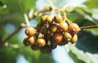 Auch Elsbeeren sollen wieder vermehrt im Wienerwald-Gebiet angepflanzt werden.