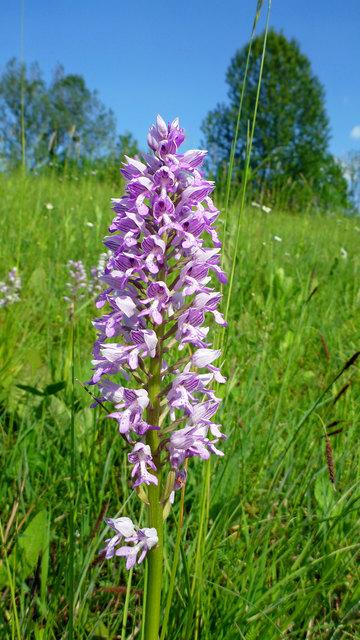 Helm-Knabenkraut, eine heimische Orchidee