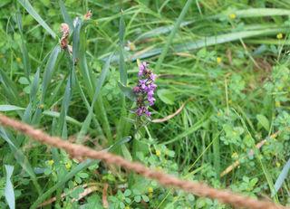 Seltene Orchidee: Fingerknabenkaut wurde entdeckt.