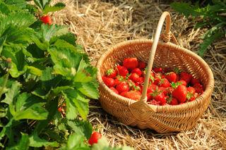 Ob frisch verzehrt oder in der Küche verarbeitet: Die Erdbeeren sind jede Sünde wert.