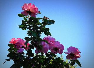 Mit ihrem süßen Duft, den brillanten Farben und den zarten Blüten, sprechen Rosen die Sprache der Liebe. Man sagt auch, dass Rosen zuweilen von himmlischen Boten gepflegt und umsorgt werden, weil sie so filigran und vergänglich sind.