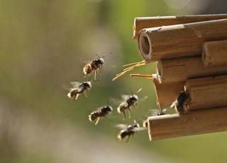 In unmittelbarer Nähe von reichhaltigem Nahrungsangebot sucht die Wildbiene nach Nistplätzen.