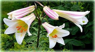 """Die Königslilie gehört mit ihrer """"schlichten Eleganz"""" sicherlich zu den schönsten Trompetenlilien ❀"""