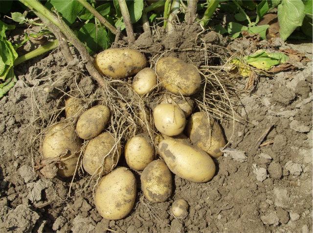 Frühjahresfrost gefolgt von sommerlicher Hitze stellen Landwirte bei der Kartoffel-Ernte vor große Herausforderungen.
